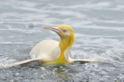 پنگوئنی نایاب به رنگ زرد