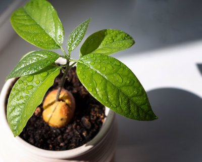 پرورش درخت آووکادو و به میوه رساندن آن