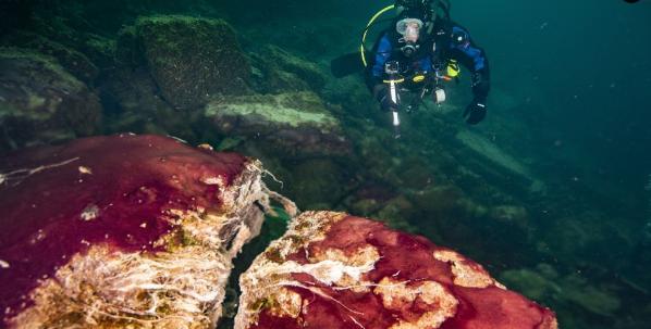 یک غواص میکروب های بنفش، سفید و سبز را می پوشاند که سنگ ها را در سوراخ سوراخ جزیره میانی دریاچه هورون می پوشانند.