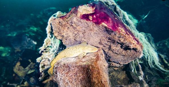 یک ماهی بِربت (ماهی ریشدار) بر روی سنگ های پوشیده از فرشی از جلبکهای میکروبی بنفش و سفید، در میدل آیلند در دریاچه هورون قرار دارد